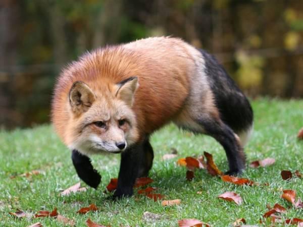 Почему лисица так и не стала домашним животным?
