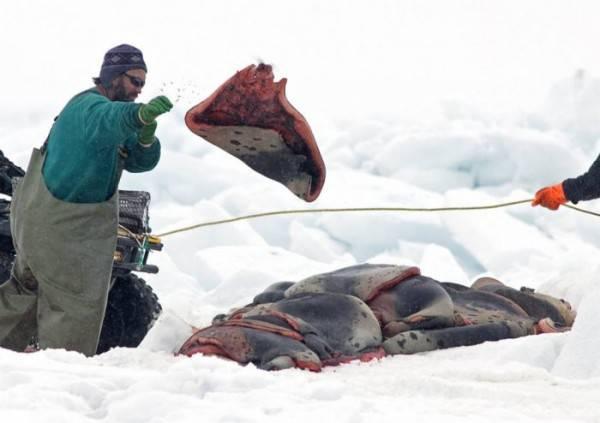 В Канаде началась дикая и страшная охота на детенышей тюленей
