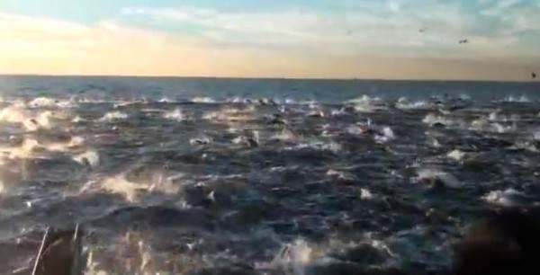 Огромная стая китов и дельфинов в океане
