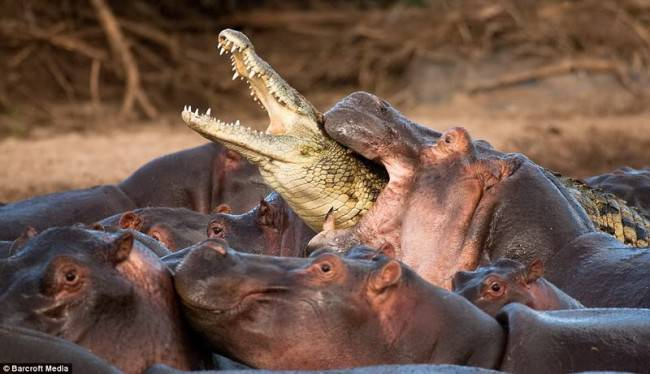 a study of hippopotamus and their value to poachers
