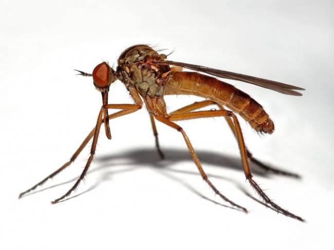 Комары, которым не нужна кровь