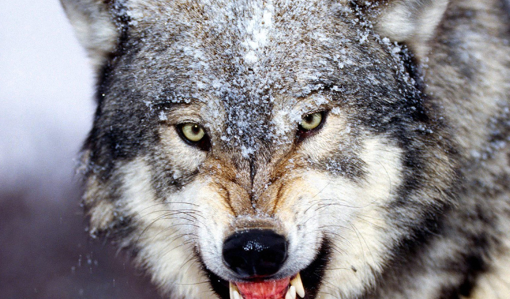 человека с головой волка