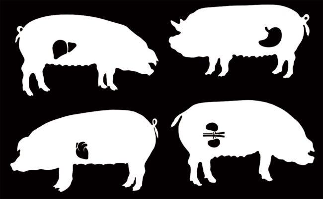 Ученые намерены выращивать в свиньях человеческие органы