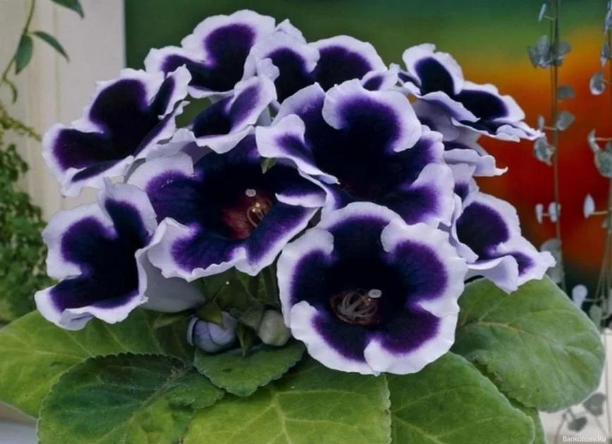 глоксиния бело-фиолетовая