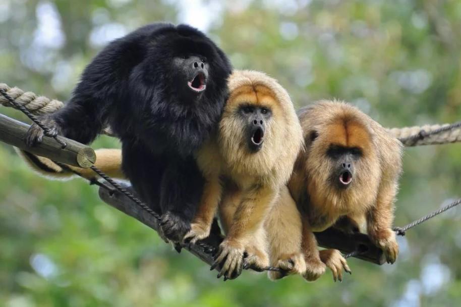 обезьяны ревуны