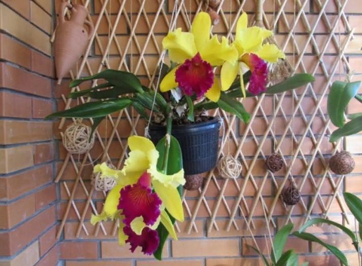 орхидея красно-желтая