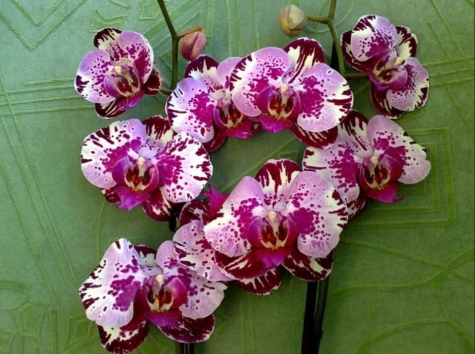 орхидея разноцветная