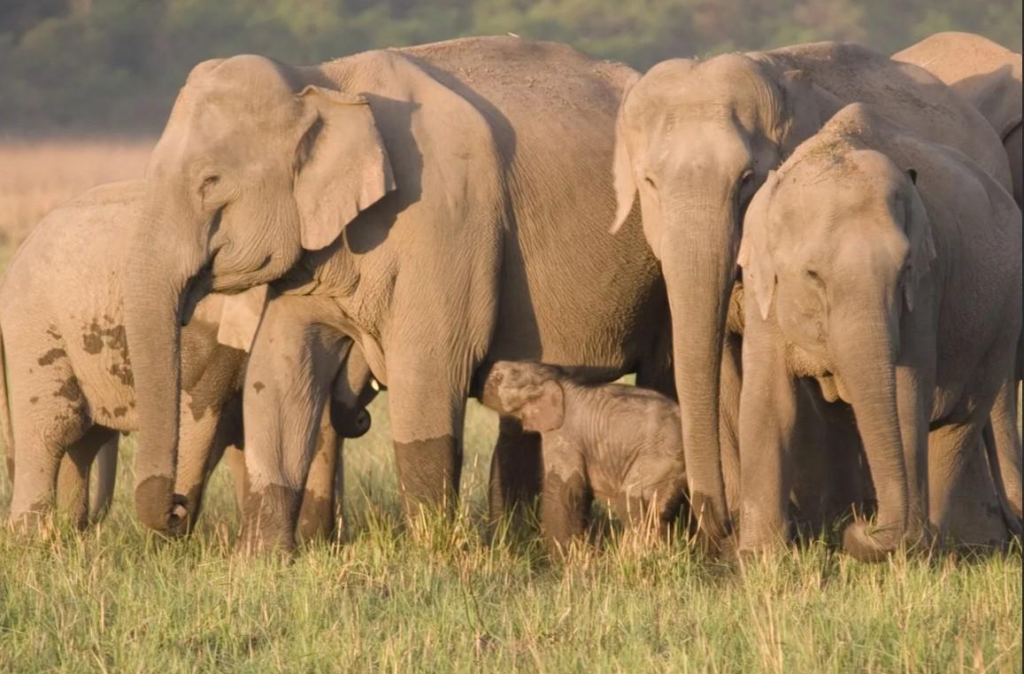 слоны без бивней