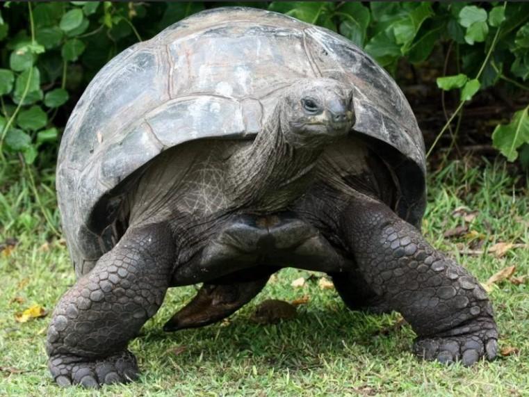 черепаха сейшельская