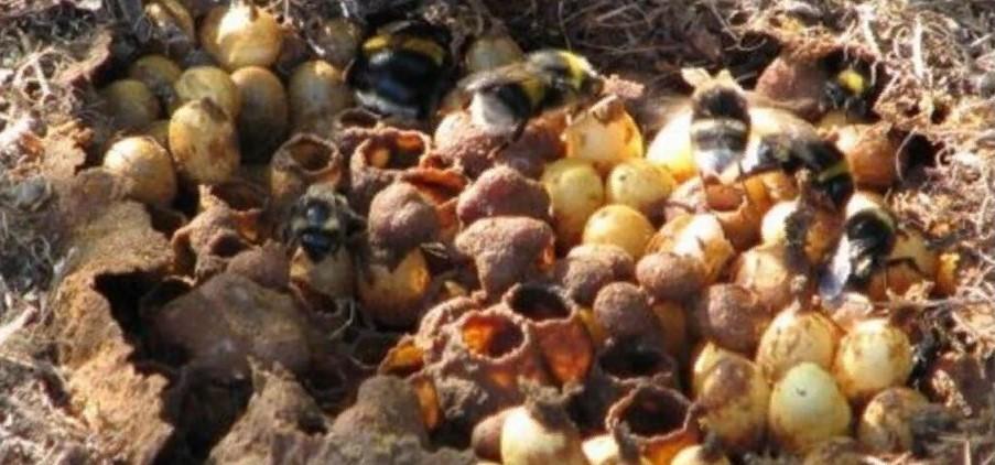 шмель гнездо
