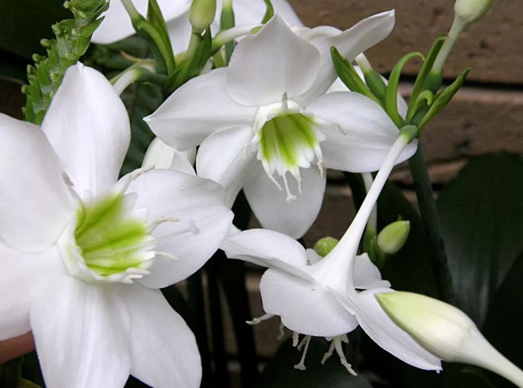 эухарис цветы