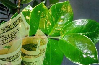 «Долларовое» дерево: приметы и суеверия