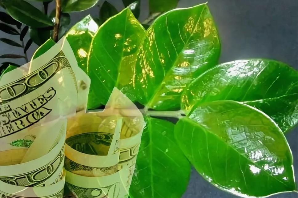 Долларовое дерево: приметы и суеверия, касающиеся его
