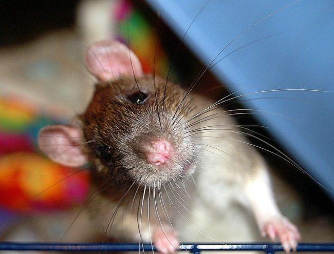 Мышь перебежала дорогу: приметы, толкование