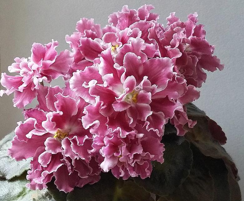 фиалки розовые