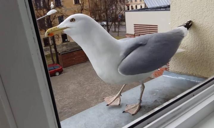 чайка у окна ходит