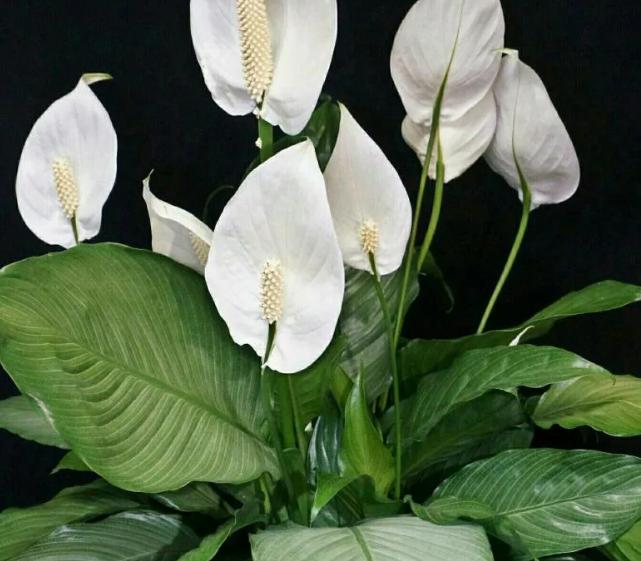 спатифиллум белый с листьями крупными