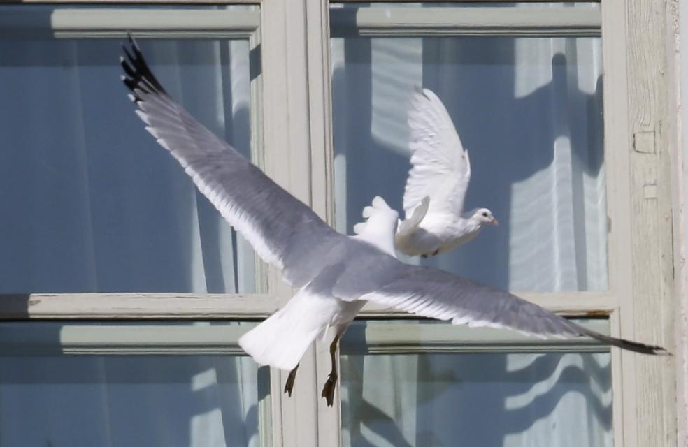 чайка бьется в окно