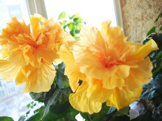 гибискус китайская роза желтая