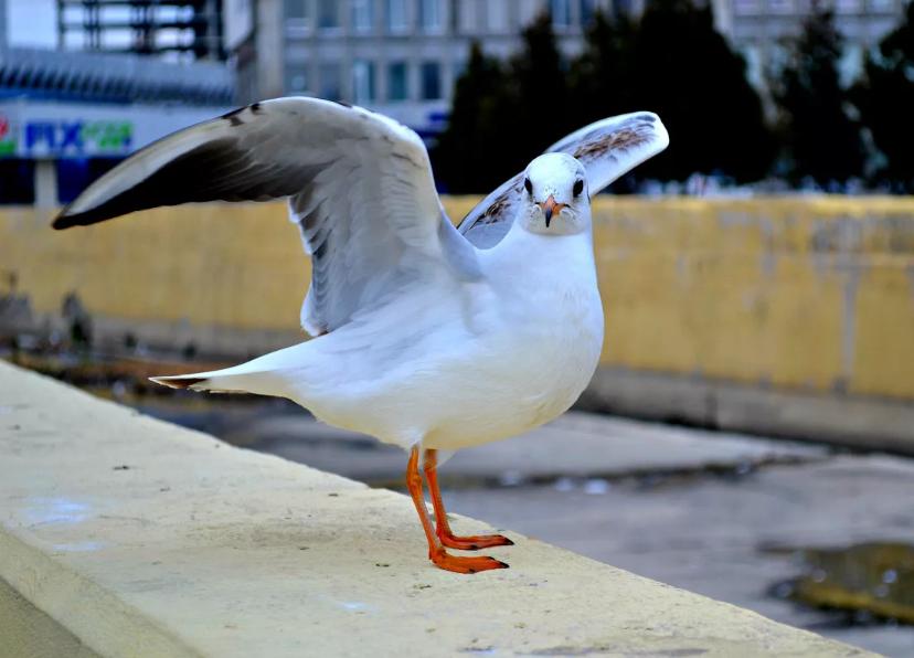 чайка в городе