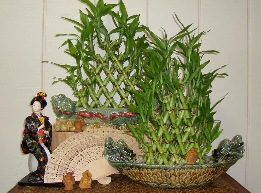 Драцена Сандера – бамбук счастья и удачи: приметы