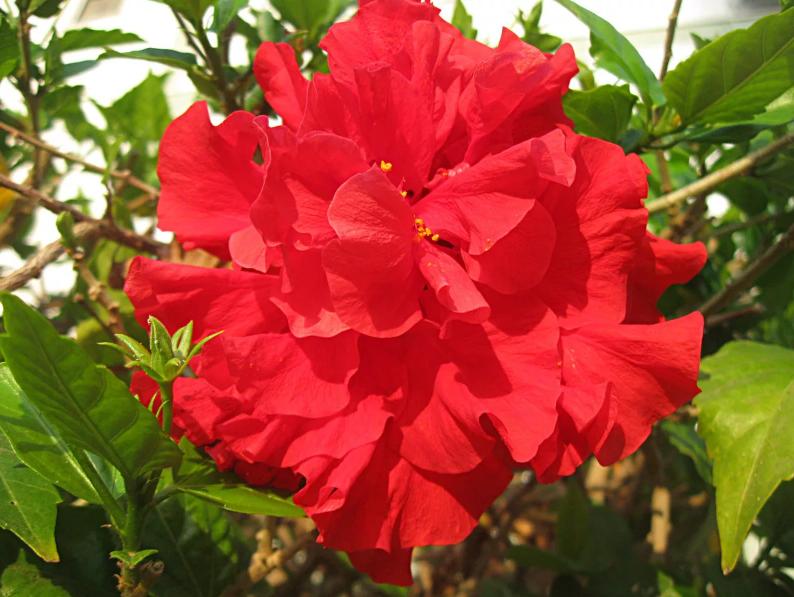 гибискус китайская роза красная