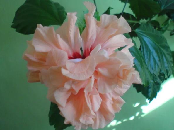 гибискус китайская роза нежно озовая