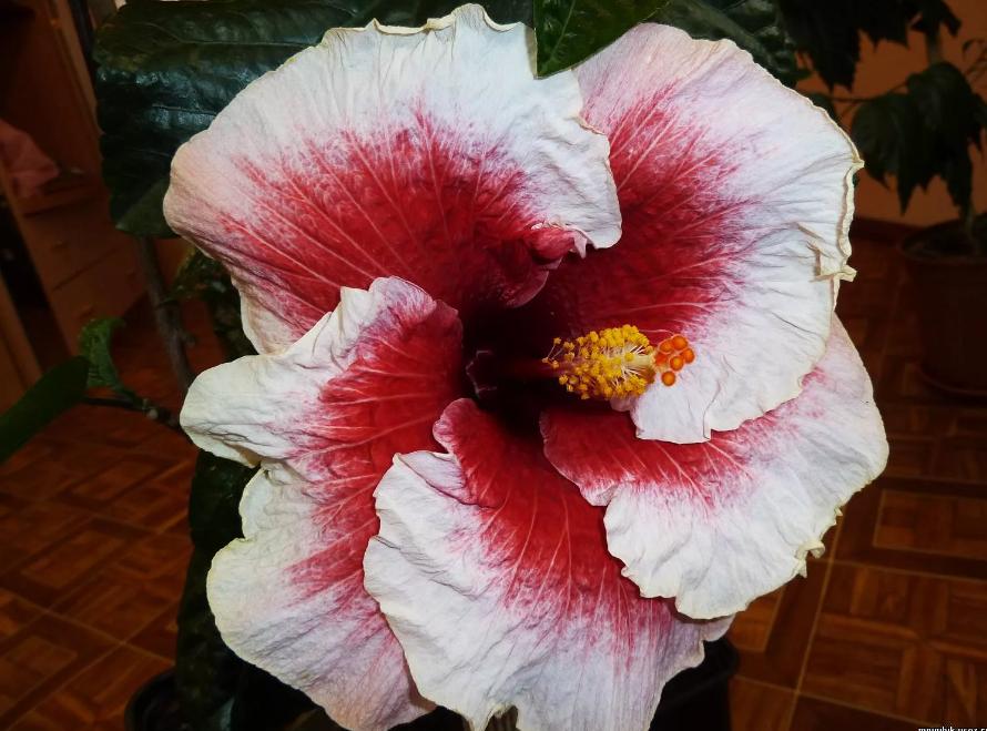 гибискус китайская роза бело-красная