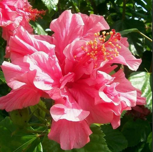гибискус китайская роза розовая