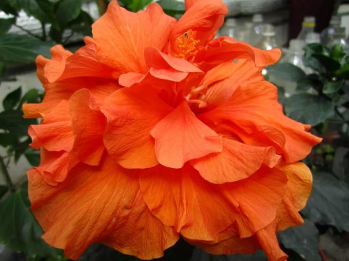 гибискус китайская роза оранжевая