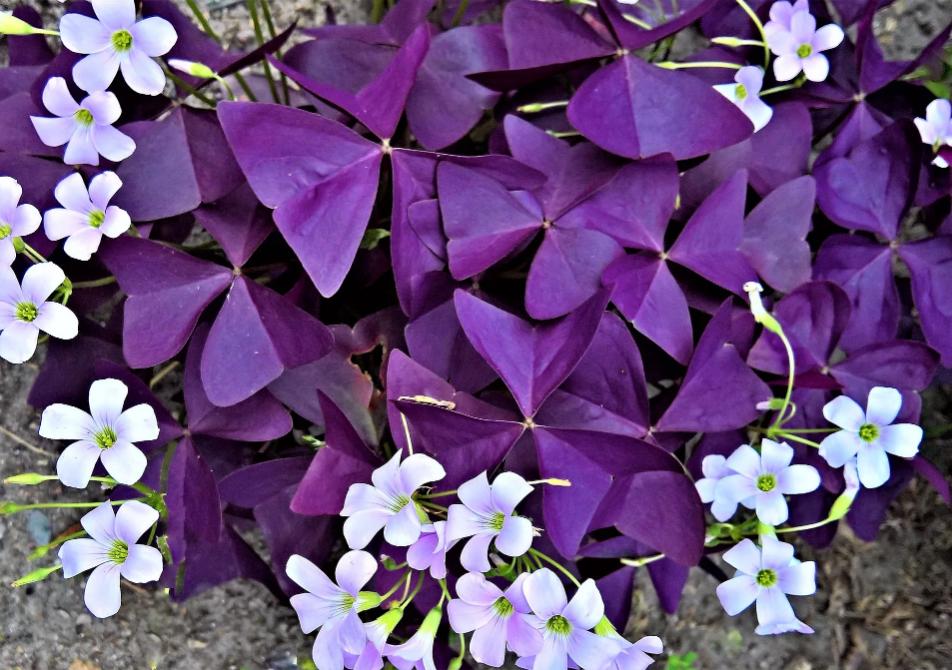 Оксалис приметы и суеверия о домашних растениях