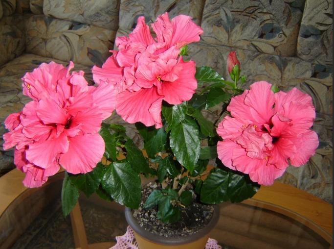 гибискус китайская роза розовая в гошке
