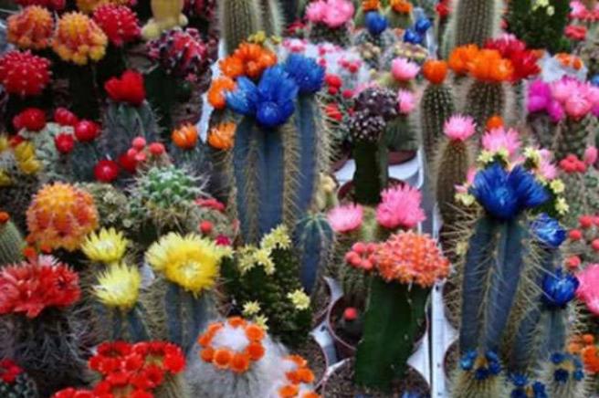 кактус цветет разные цвета