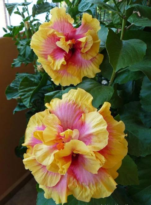 гибискус китайская роза желто-розовая