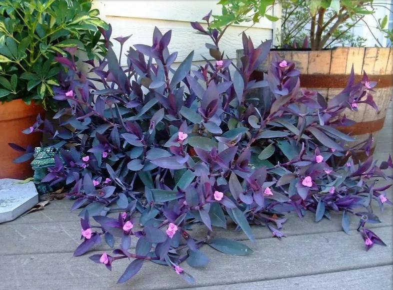 традесканция сеткреазия пурпурная