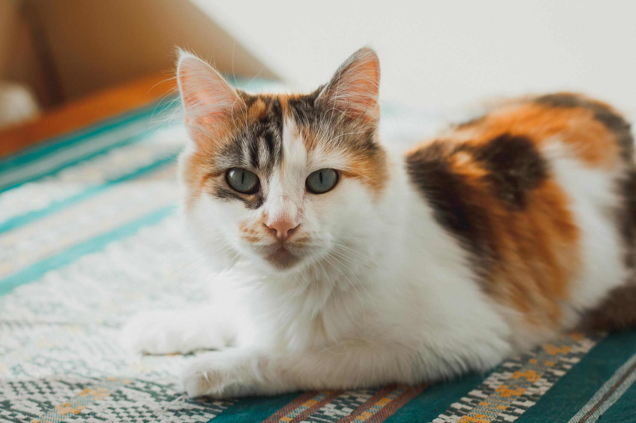 Редкий окрас трехмастной кошки с вкраплениями камышовой масти
