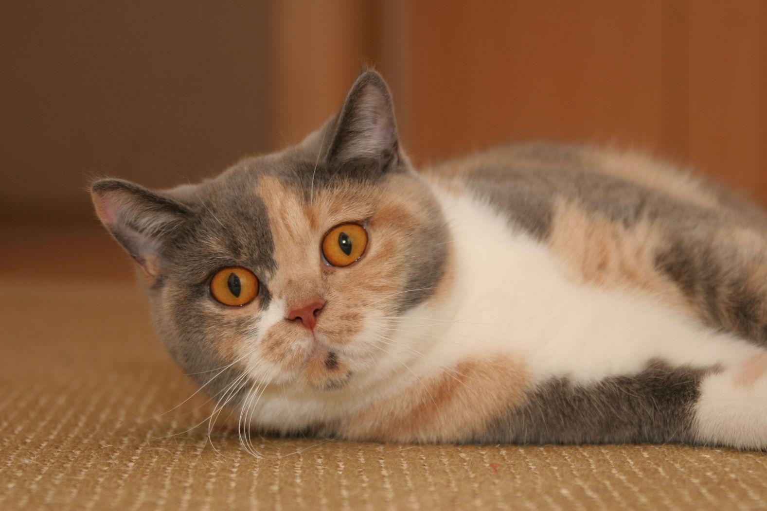 Довольно редкое сочетание цветов у трёхмастной кошки
