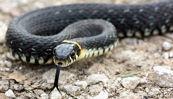 Увидеть змею наяву: примета, если переползла дорогу, к чему встретилась у порога