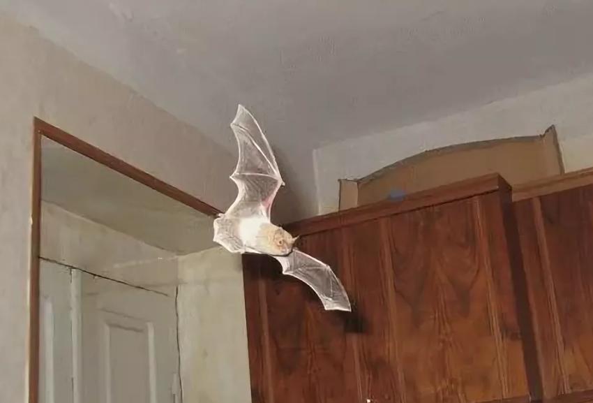 летучая мышь влетела в дом