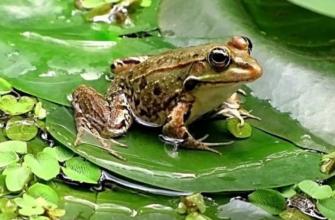 Увидеть лягушку: примета