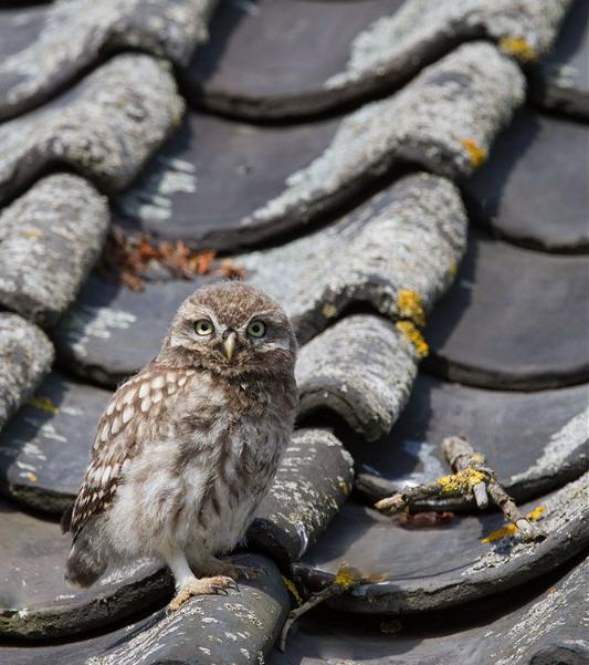 сова на крыше