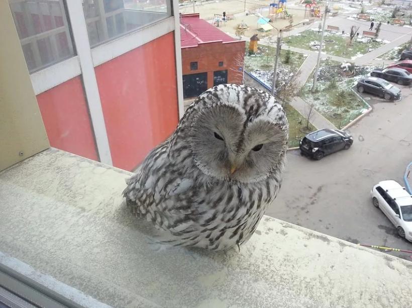 сова на окне