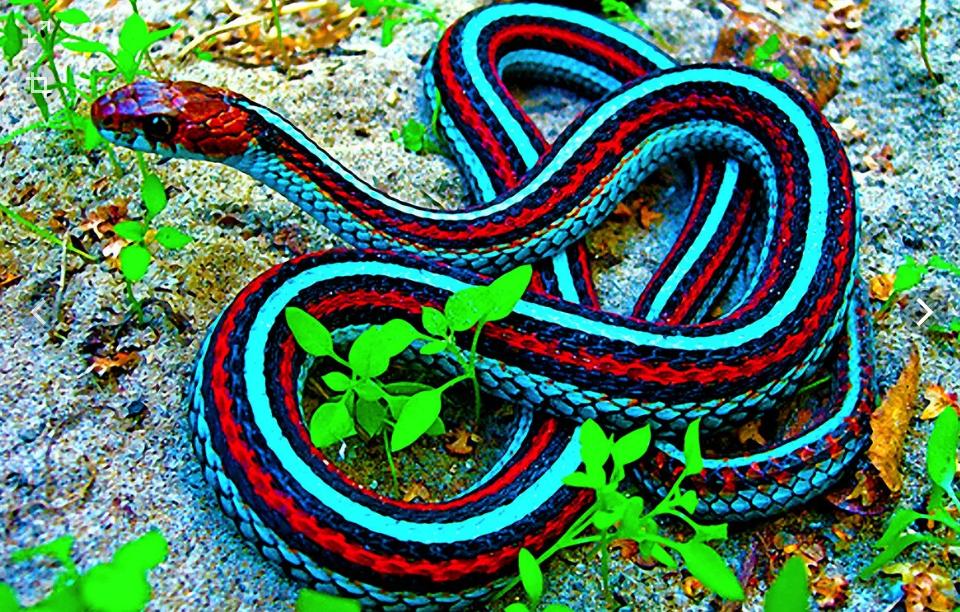 змея яркая
