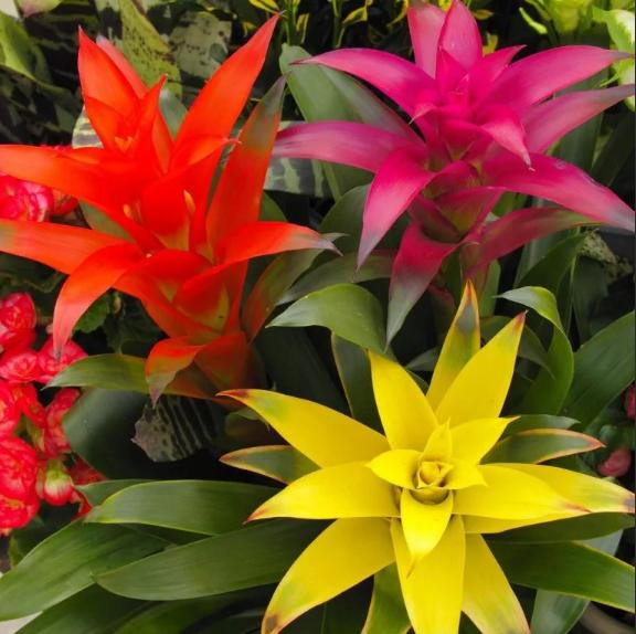 Можно ли держать гузманию дома: приметы по состоянию цветка