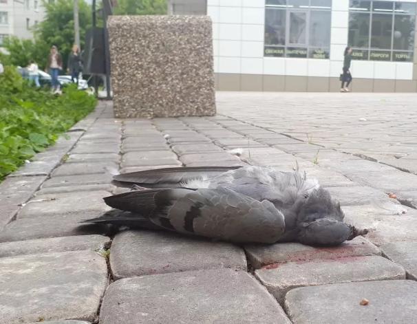 увидеть мертвую птицу голубя