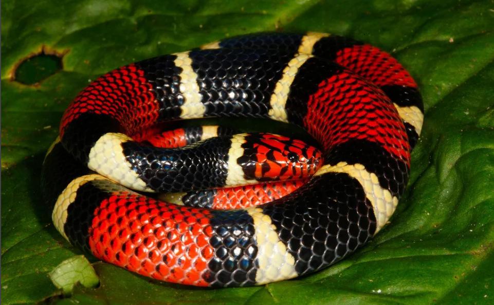 змея красно-черная