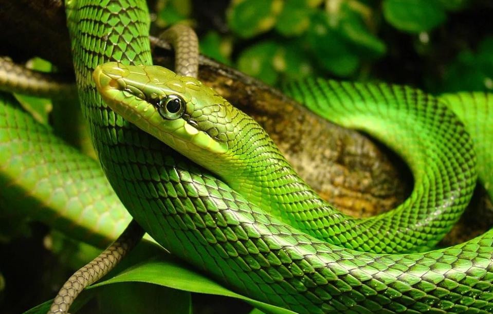 змея зелеёная
