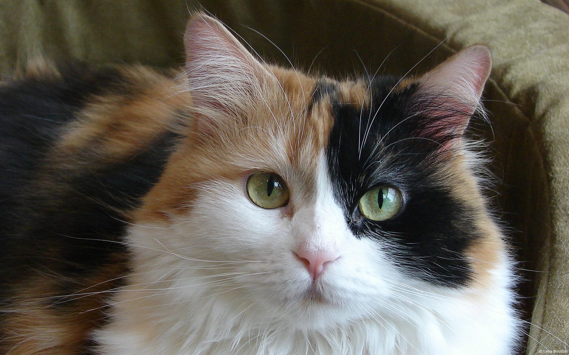 Самое распространённое сочетание мастей у трёхцветной кошки