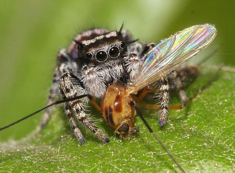 Паук, поедающий муху