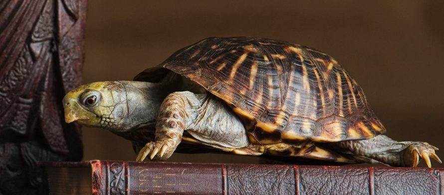 Талисман черепаха: что означает, как выбрать, азы правильного использования